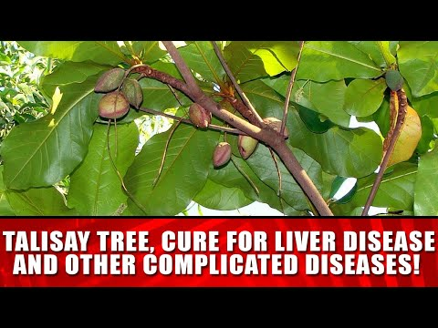 TALISAY TREE, CURE FOR LIVER DISEASE AND OTHER COMPLICATED DISEASES!