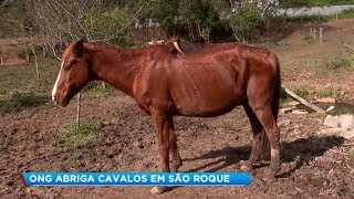 ONG que abriga cavalos em São Roque faz campanha para construir baias
