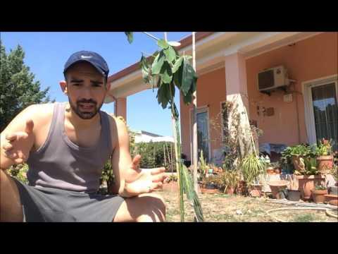 come coltivare avocado e papaya - piante tropicali in italia