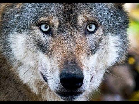 Wölfe in Tripsdrill: Wie gefährlich ist der Wolf?
