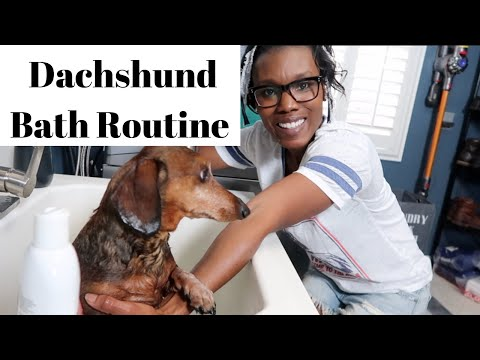 Dachshund Bath Routine (2019)