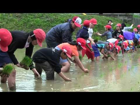 種子島の学校活動:国上小学校もち米田植え体験活動!