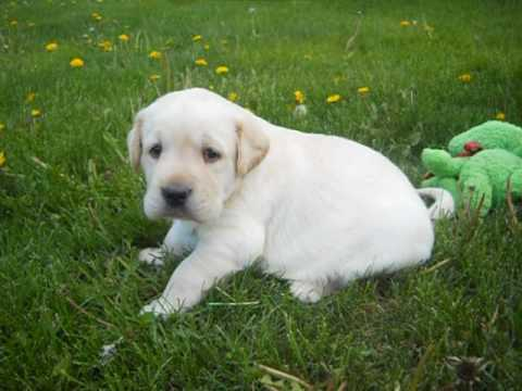 cash at 4 weeks old in this video akc yellow lab male