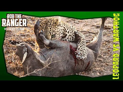 Video Leopard Vs Warthog: African Wildlife In Action! download in MP3, 3GP, MP4, WEBM, AVI, FLV January 2017