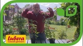 Freilandtomaten für jeden Garten