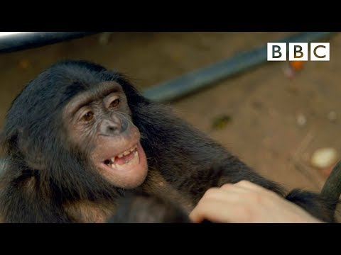 Making a chimp laugh | Animals in Love - BBC