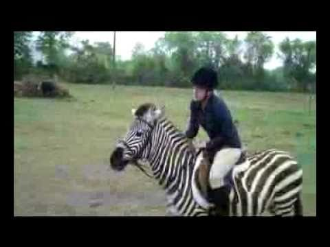zebra - Zack the zebra shows that zebras can be versatile. At 6 years old, he rides western, english or bareback. Here, he is jumping 2 foot 8 inches. He jumps, trai...