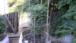 2017 outdoor grow norcal sunset sherbet by Emerald Coast 420