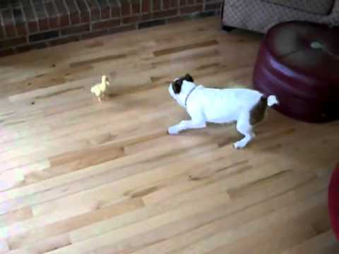 Duck Vs. Dog.