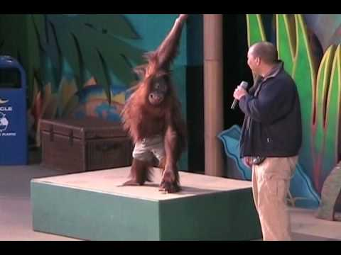 Funny Orangutan Show Universal Studios Hollywood Animal Planet