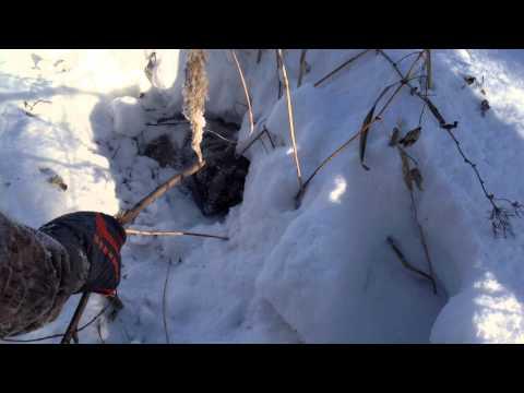 Охота на барсука капканами видео