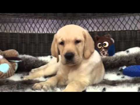 Playful female yellow Lab