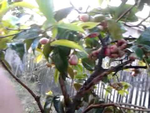 Menikmati buah dihalaman sendiri