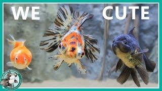 Goldfish Aquarium Upgrade by Solid Gold Aquatics