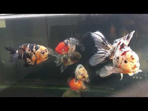 志村養魚場産東錦ほか 90cm水槽 金魚と遊ぶ.com