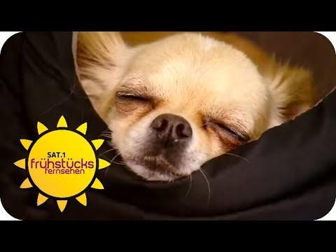 An diesem Arbeitsplatz sind Hunde AUSDRÜCKLICH ERWÜNSCHT | SAT.1 Frühstücksfernsehen | TV
