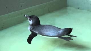 Überraschungs-Pinguin
