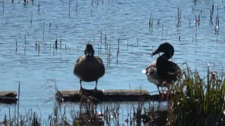 Mating Mallard Ducks UHD