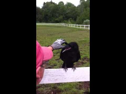 Cuervo pidiendo ayuda