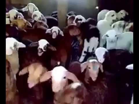 Ovčji zbor