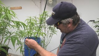 How to Defoliate Your Cannabis Plants Week 1 by Urban Grower