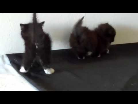Napoleon and Munchkin Kittens playing