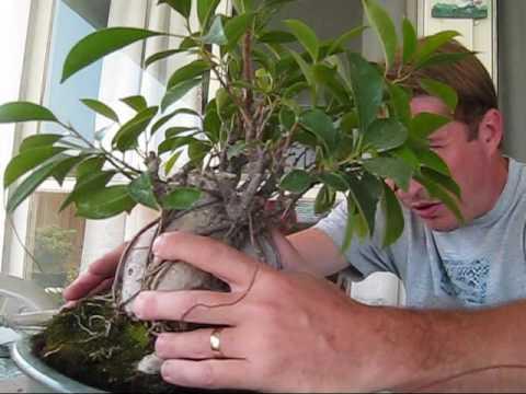 Video: tạo dáng 1 cây si thành bonsai