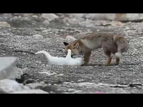 avreste mai immaginato un'amicizia tra un gatto ed una volpe?