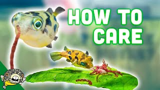 How to Care for Dwarf Puffer Fish by Aquarium Co-Op