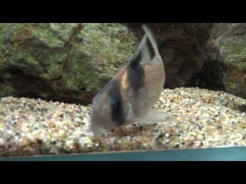 コリドラス・スポットバーゲシー/Corydoras Burgessi (Spotted)