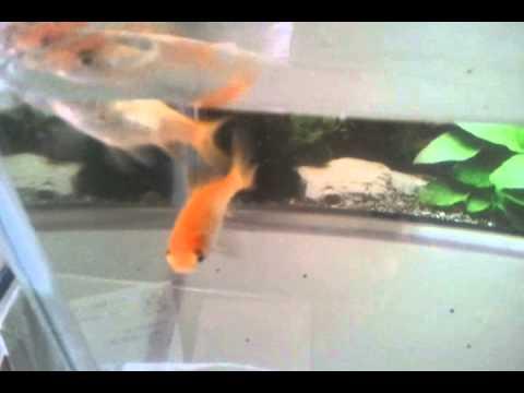 金魚 和金 2013-11-7