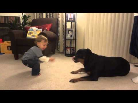 rottweiler playing with baby & eating bubbles