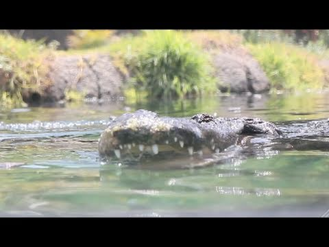 markdayresponse - Alligator feeding at Oakland Zoo HD Canon 550D 1080p.