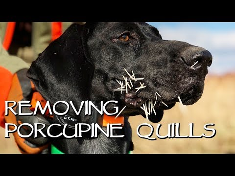 Removing Porcupine Quills