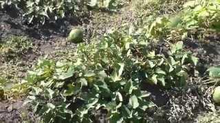 Батат – выращивание