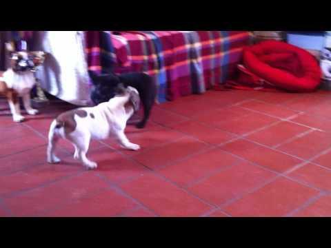 French Bulldog Pascal & Dame Bisou di Fosso Corno playing together