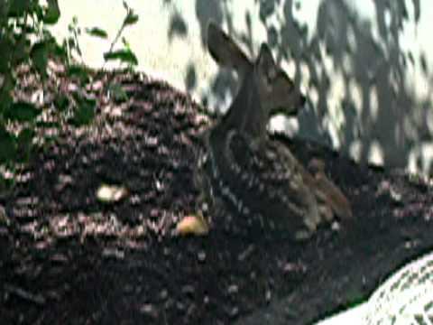 Venadito recien nacido – Newborn baby … deer