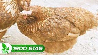 Chăn nuôi gà | Phác đồ trị bệnh viêm đường hô hấp mãn tính ghép cầu trùng cho gà