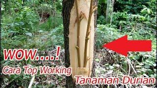 Video Teknik Terbaru Cara Top Working Tanaman Durian 100 % Berhasil MP3, 3GP, MP4, WEBM, AVI, FLV Juli 2018
