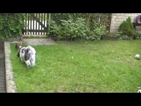 Mini Chihuahua (ganze 2000 Gramm,15 Monate alt) hat Spaß :O)