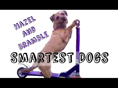 Hazel and Bramble smartest dogs!