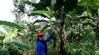 Kebun pisang yuhuu