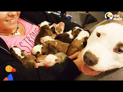 Pit Bull Dog Mom Brings Puppies To Foster Mom PUPPY ADOPTION UPDATE | The Dodo (видео)