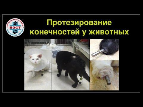 Протезирование конечностей у собак и кошек после ампутации