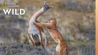 Puma Battles Guanaco, With a Surprise Ending | Nat Geo Wild by Nat Geo WILD