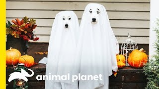 They're Hairy, Not Scary! Debunking the Superstitions around Halloween Animals by Animal Planet