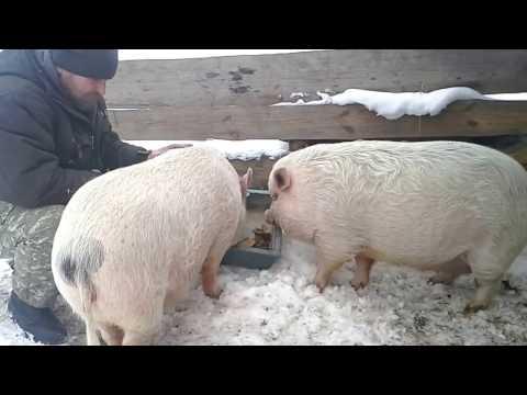Video Вьетнамские свиньи// У свинок началось ЭТО// download in MP3, 3GP, MP4, WEBM, AVI, FLV January 2017