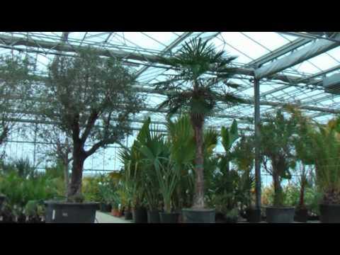 Hanfpalmen - Trachycarpus fortunei bei www.flora-toskana.de
