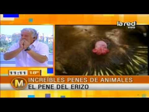 Iván Arenas muestra el increíble pene de un erizo