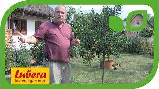 Pflegetricks für die Kumquat